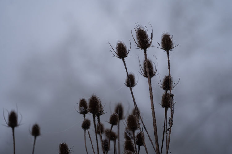 Low angle view of thistle flower against sky