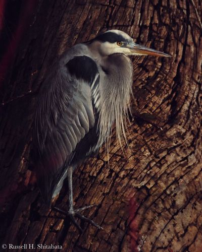 Nature Beauty In Nature Feathers Feather  Texture PNW Pacific Northwest  Oregon Delta Ponds Blue Heron Heron Trees Tree Wood One Animal Bird Animal Themes Animals In The Wild Animal Wildlife Wood - Material No People