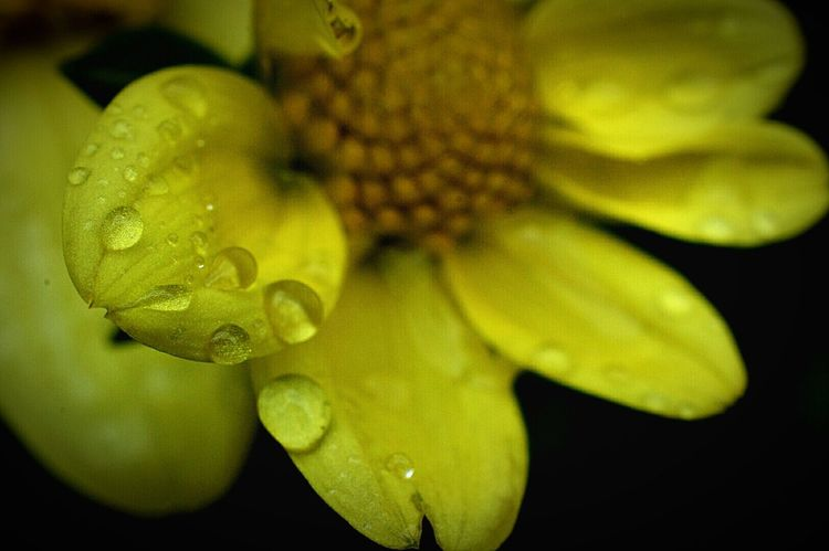Yellow Flower Lilliput Dahlia Water Droplets Rain Drops On Flowers Flower Flower Porn Flower Photography Yellow Petals Plants And Flowers Beauty In Nature Nature Nature Photography EyeEm Nature Lover Macro Macro Photography Macro_flower Macro Nature Nikon D3200