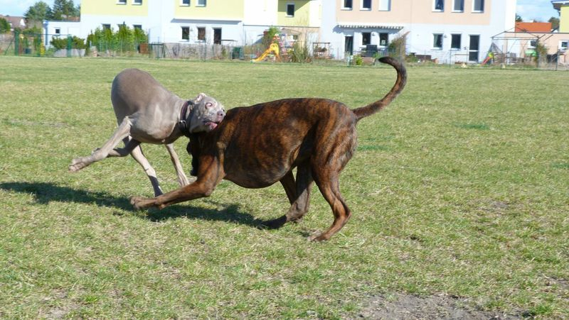 Boxer Dog Weimaraner Playing Bodycheck Oops Funny Faces FUNNY ANIMALS Playing Dogs Dog❤ Boxerlove Doubletrouble