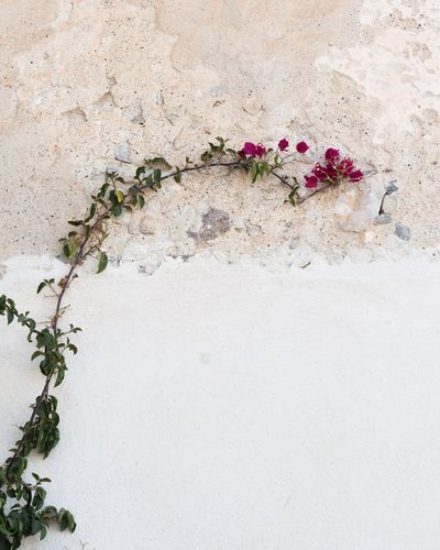 Santorini Island Flower Plant Nature Growth Fragility No People Beauty In Nature Flower Head Day Leaf Outdoors Branch Close-up
