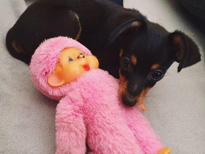 My Dog's Doll Monkey Mini Pincher Dog❤ Dogs Of EyeEm Dog Baby Mine Cute Baby Dog Pincher Batman