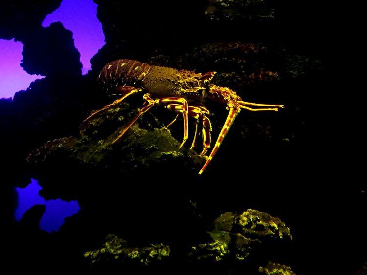 Sealife Underwater Colours Details Nature Aquarium Spiny Lobster