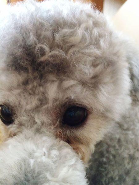 My Toypoodle Love Pets Corner Ilovemydog Sweet♡ Cute Pets t Toypoodle Noël