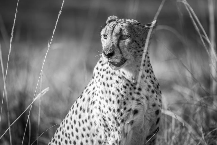 Close-up of cheetah relaxing in forest