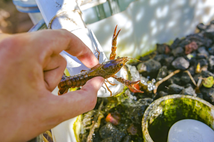 Cropped image of person holding lobster