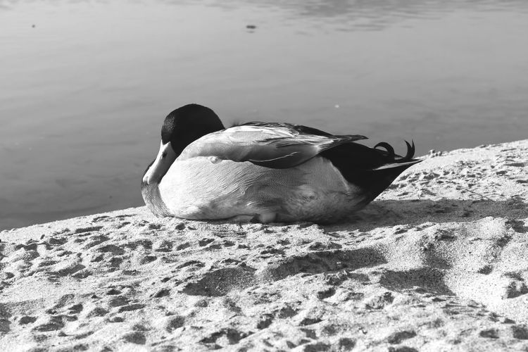 These beautiful ducks are always on this one beach in Malibu, CA Blackandwhite Taking Photos Eye Em Nature Lover Nature