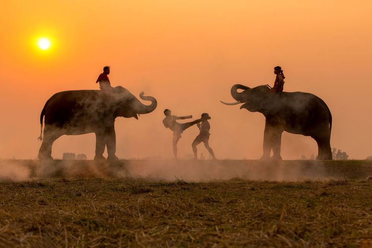 Silhouette fighter tradition Thai boxing or Muay-Thai outdoor battle with mahout and elephants, Ancient fighter on the world sport of Thai and around. MuayThai Thailand Animal Animal Themes Animal Wildlife Beauty In Nature Clear Sky Domestic Animals Dust Elephant Elephants Field Group Of Animals Group Of People Herbivorous Land Livestock Mammal Nature Orange Color Outdoors Pets Sky Sunset Vertebrate
