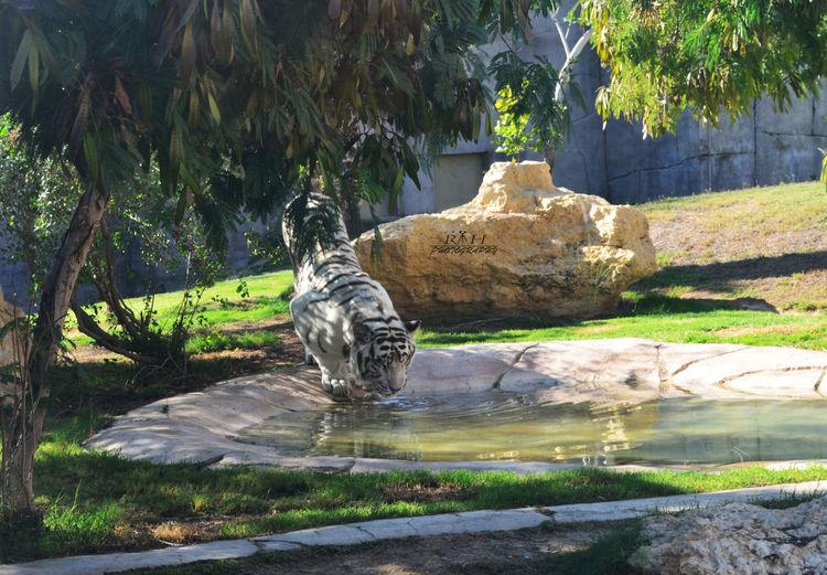 White Tiger Whitetiger Alainzoo Animalphotography Wildlife Photography Tigerlovers Pastel Power Rhphotography