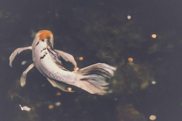Close-up of koi fish swimming in tank