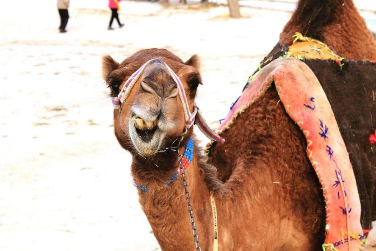 ''Must'' Must Camel Camel Hump EyeEmNewHere City American Bison Sand Cultures Camel Working Animal Bull - Animal Horse Cart Horseback Riding Donkey Jockey Bazaar Animal Skin Horse Horse Racing Goat Carriage Taurus