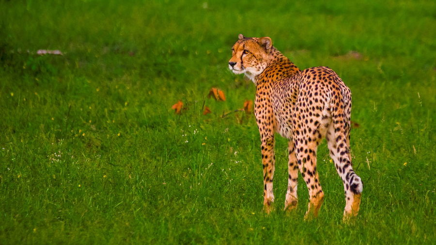 Leopard on grassland looking away