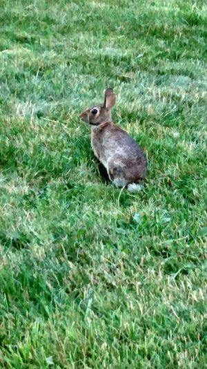 Rabbit in the grass Rabbit Grass