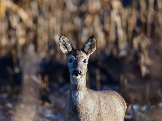 EyeEm Selects Deer Reh Ricke Sunset Nature Animal Themes Animals In The Wild One Animal Looking At Camera Focus On Foreground Portrait Beauty In Nature