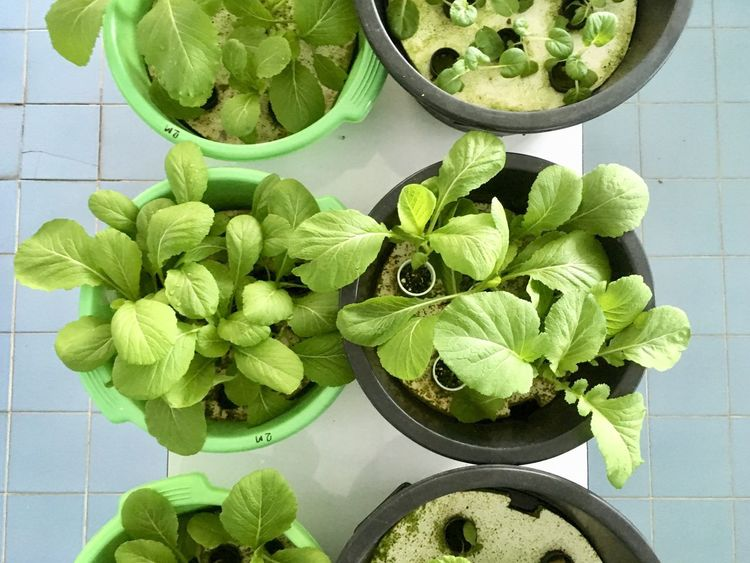 Hydroponic Vegetables Hydroponics Technology Green Color Vegetable Leaf High Angle View Plant Growth Freshness No People Bowl Food Healthy Eating Day Indoors  Close-up