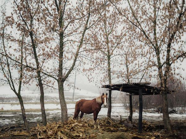 Ursari village. Republic of Moldova Bare Tree Cold Temperature Day Domestic Animals Livestock Nature No People One Animal Outdoors Standing Tree Winter