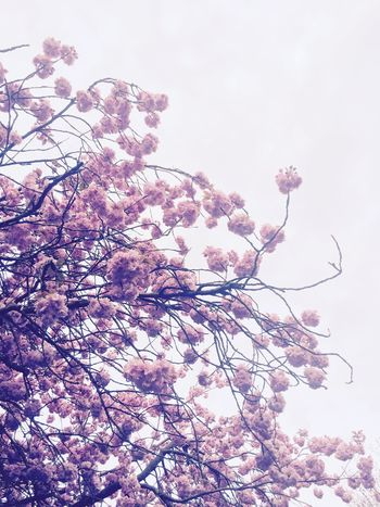 Cherry Blossoms Pink Floral Tree