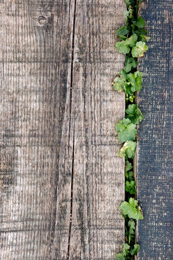 Close-up of plant growing on old wooden plank