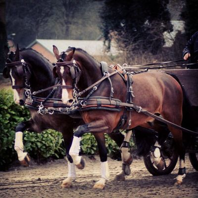 Horse pair, dark brown and 4 years old! SOLD Horsforsale Paarden Horses Horsesofinstagram Horseshow Horses_of_instagram Horsestagram Instahorses Welovedrivingsport Equestrianphotography Yourdailyhorses Fahrsport Sportkörning Combineddriving