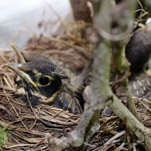 Last shot of the baby robins before they left the nest Nature Novascotia Birdwatch Canont3i