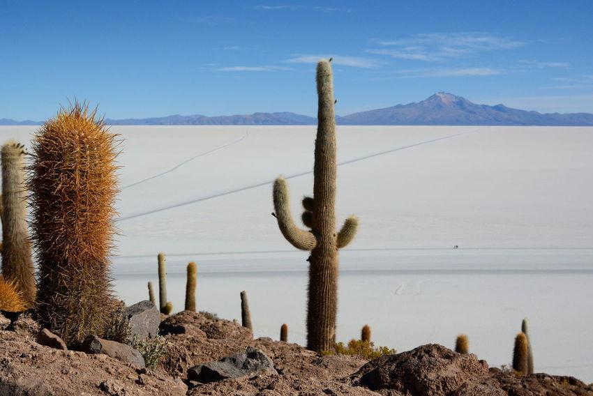 Isla Incahuasi. Salar de Uyuni. Bolivia Andes Beauty In Nature Bolivia Cactus Cactus Flower Incahuasi Isla Incahuasi Landscape Mountain Nature No People Non-urban Scene Outdoors Plant Salar De Tunupa Salar De Uyuni Salt Salt Flat Scenics Tranquil Scene Tranquility Uyuni Uyuni Salt Flat