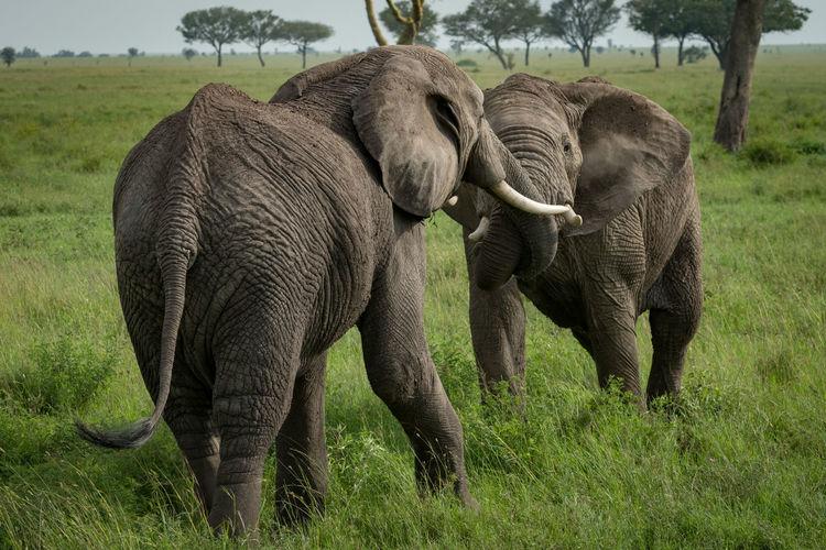 Loxodonta Africana Animal Elephant Mammal Wildlife
