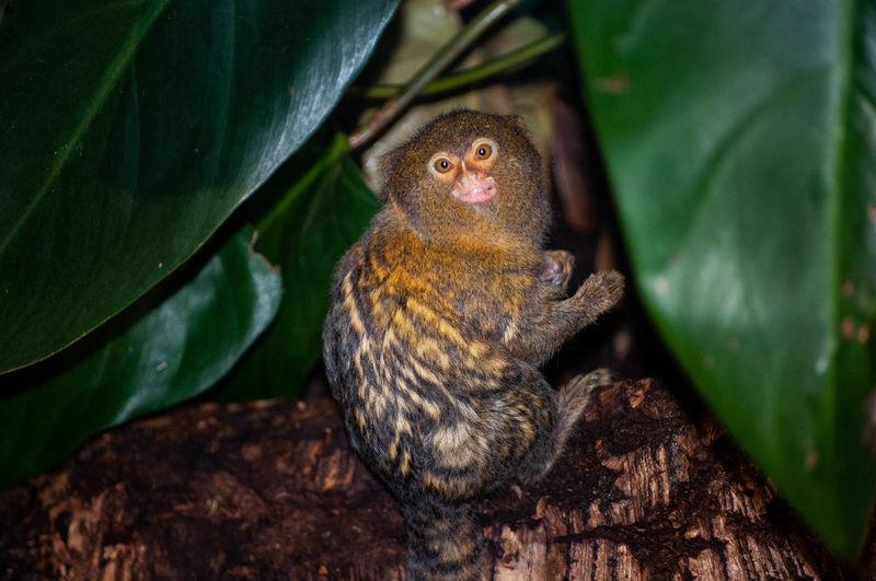 Close-up of a marmoset