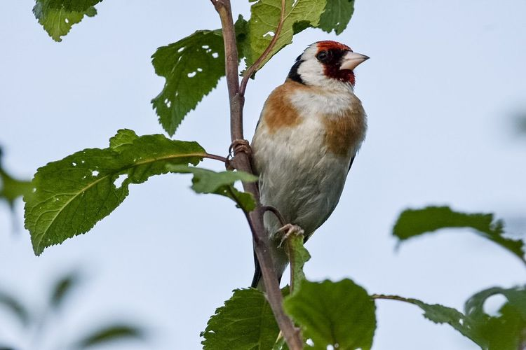 Goldfinch Multi Colored Summer Nature Animals In The Wild Bird Photography LONDON❤