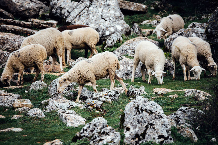 Sheep Grazing On Rocky Landscape