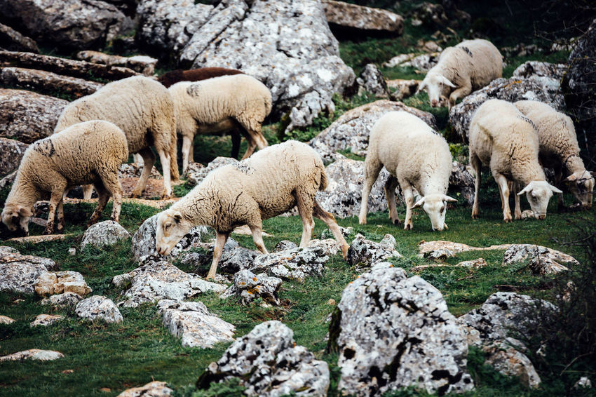 Beauty In Nature Farm Animals Grass Herbivorous Landscape Livestock Mammal Nature Outdoors Ovis Aries Rock Rock - Object Rock Formation Sheep Sheeps Sierra Del Torcal The Great Outdoors - 2016 EyeEm Awards Torcal De Antequera Tranquil Scene Tranquility