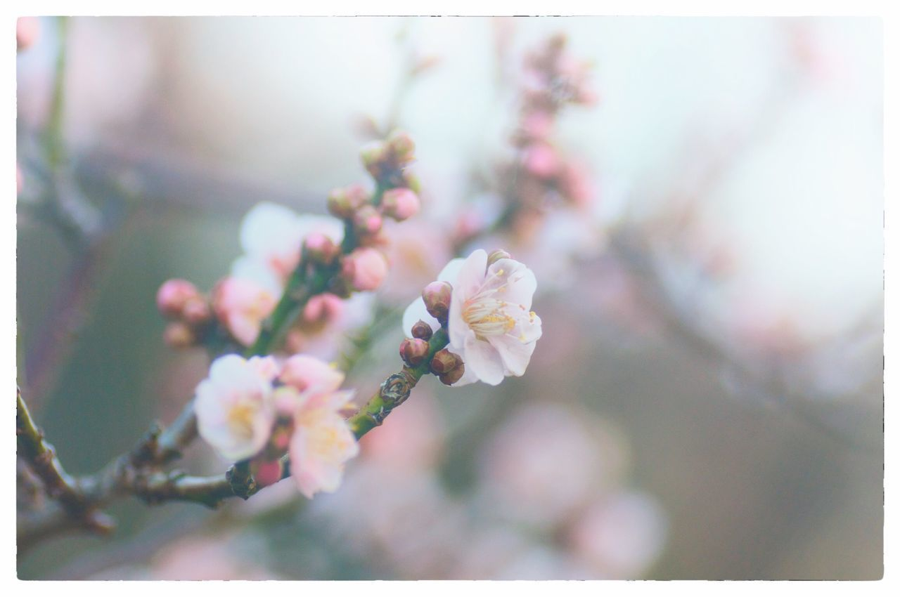 flower, flowering plant, plant, fragility, freshness, vulnerability, beauty in nature, growth, close-up, blossom, petal, nature, focus on foreground, tree, inflorescence, auto post production filter, no people, selective focus, day, pink color, springtime, flower head, outdoors, cherry blossom, cherry tree, spring