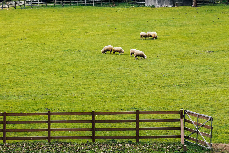 Mammal Grass Livestock Field Animal Themes Domestic Animals Animal Domestic Pets Plant Land Green Color Vertebrate Sheep Barrier Fence Boundary Grazing Nature Agriculture No People Herbivorous Outdoors