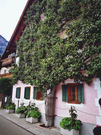 Tree Ivy House