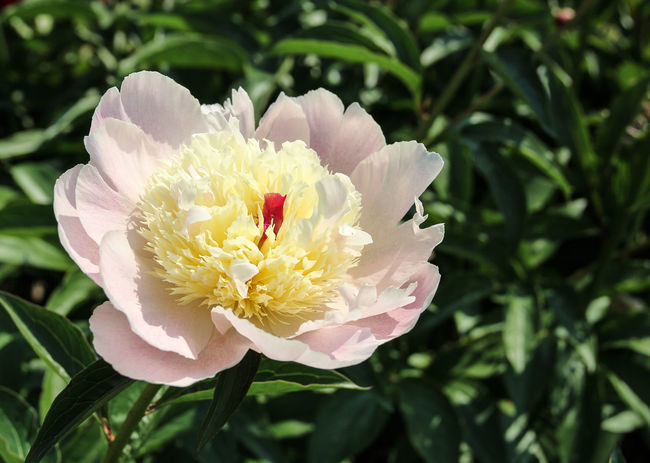 Multicoloured Feature Floral Background Beauty In Nature Big Flower Blooming Close-up Flower Flower Head Fragility Freshness Garden Photography Gardening Equipment Growth Nature Outdoors Peony Blooming Peony Blossom Peony Fest Peony Flower Petal Pink Peony Plant Red Color Tenderness