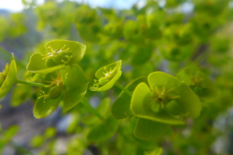 Beach Plant Botany Bud Close-up Focus On Foreground Freshness Green Green Color Green Light Growing Growth Nature Plant
