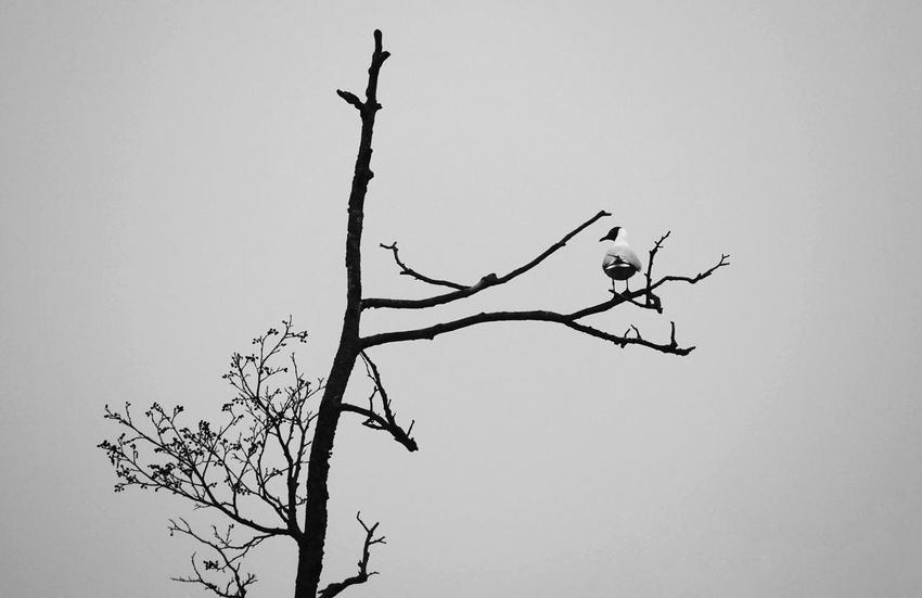 Råstasjön Showcase April 2017 Solna 2017 April Niklas Sweden Bird Tree Branch Nature Outdoors Animal Themes Nature Animal Wildlife Black Headed Gull Gull Welcome To Black EyeEm Selects The Week On EyeEm Perspectives On Nature Black And White Friday Shades Of Winter
