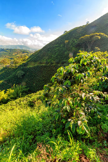 Morning light hits a coffee tree at a coffee plantantion in the hills around Chinchina, Colombia. Andes Caffeine Coffee Colombia Farm Latin Manizales Nature Plant South Travel America Arabica Bean Caldas Chinchina Colombian  Drink Landscape Mountain Organic Plantation Robusta Triangle Tropical