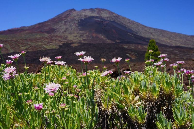 Flower Plant Wildflower Uncultivated Nature Sunny Travel Destinations Mountain Hiking Tourism Beauty In Nature Landscape Clear Sky Scenics Outdoor Pursuit Flowerbed Multi Colored Tranquil Scene Beauty Outdoors Tenerife Volcano No People Clear Sky