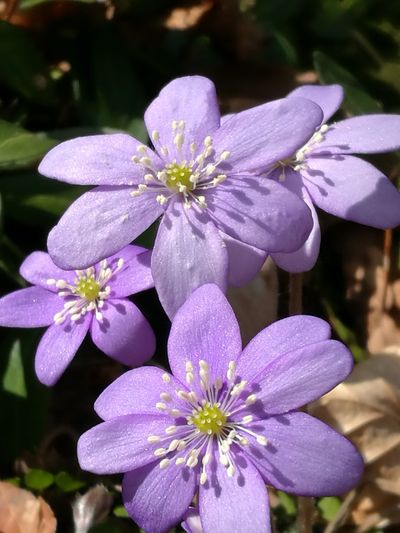 Flower Fragility Flower Head Freshness Beauty In Nature Nature Petal Purple Close-up Focus On Foreground Growth Blooming Plant Day Outdoors No People Anemone