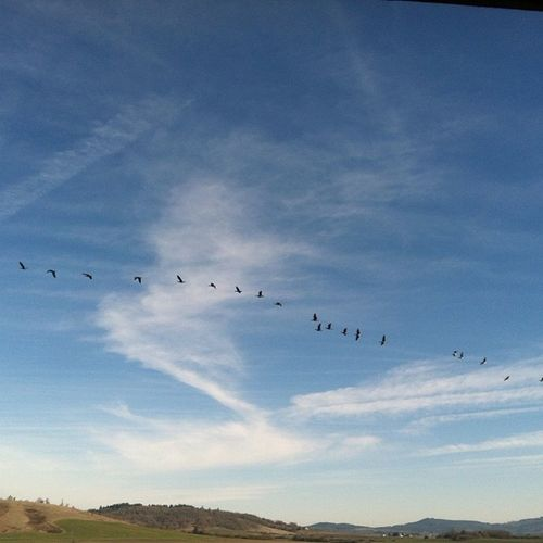 Canadian Geese
