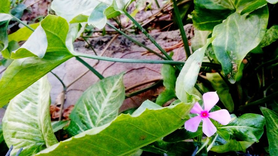 Garden Pink Flower Only One Only Flower Big Leaves Green Shades Ground Plant Eye Catching No People Fragility Freshness Beauty In Nature Day Close-up Flower Head Nature Outdoors SSClickpix SSClicks SSClickPics Mobile Photography