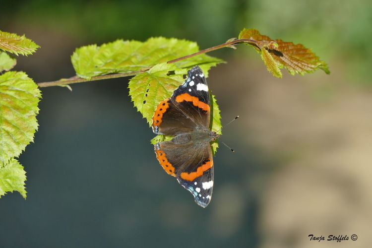 Animal Themes Animal Wing Animals In The Wild Beauty In Nature Butterfly Butterfly - Insect Focus On Foreground Insect Leaf Nature One Animal Vanessa Atalanta Wildlife