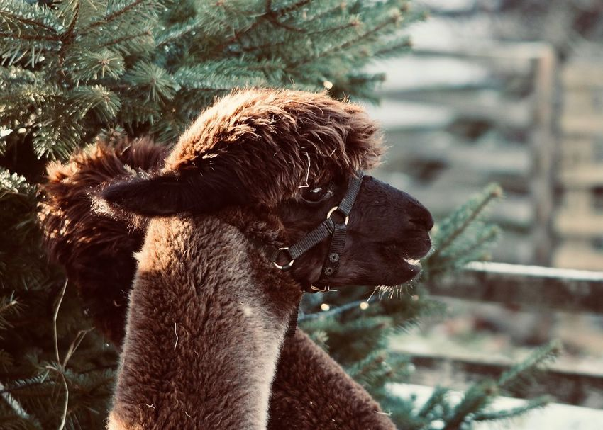 Two Alpacas In Front Of Christmas Tree Animal Mammal Animal Themes Focus On Foreground Vertebrate Domestic Animals Close-up Group Of Animals Animal Wildlife Outdoors Looking Animal Head  Nature Livestock Brown christmas tree Christmas Time Countryside Cute Llama Funny Winter Inca Copy Space Backgrounds