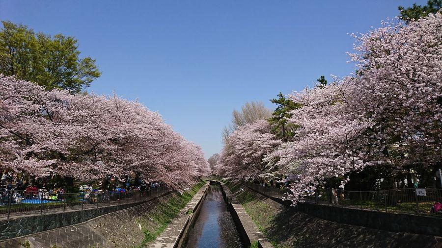 Tree Flower Sky