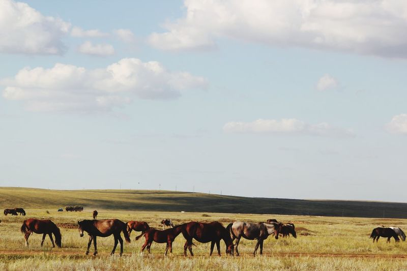 Horses in veld Veld Kazakhstan Horses Cloud - Sky Domestic Animals Animal Themes Animal Livestock Sky Group Of Animals Animal Wildlife Landscape Day Large Group Of Animals