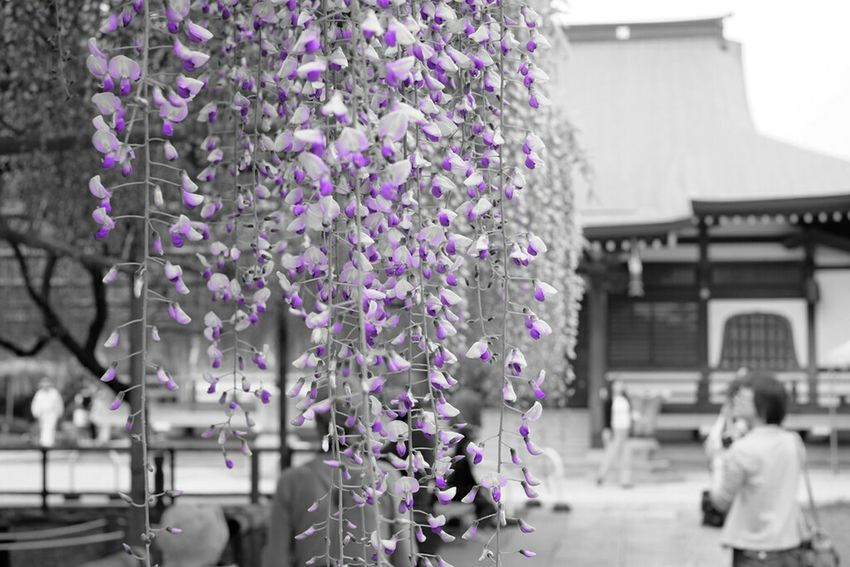 パートカラーで藤 EyeEm Nature Lover Flower 藤 Wisteria Fujifilm X-E2 Fujifilm Fujixe2 Fujifilm_xseries Xf35 Fujifilmxe2