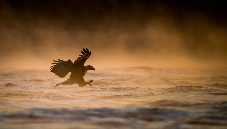 Eagle hunting in sea during sunset