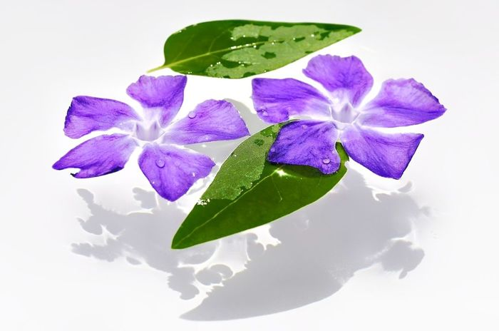 Floating On Water Flower Purple Leaf Freshness Flower Head Nature Fragility No People Close-up Studio Shot Plant White Background Beauty In Nature Day