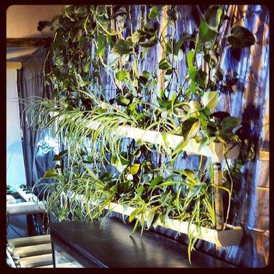 Progress Update: Ivy Wall. Surelygrow Hydroculture Hydroponics Gardening plants ivy generalhydroponics