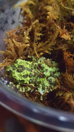 new addition Mossyfrog Treefrog Stickyfingers Amphibians Close-up Green Color Plant
